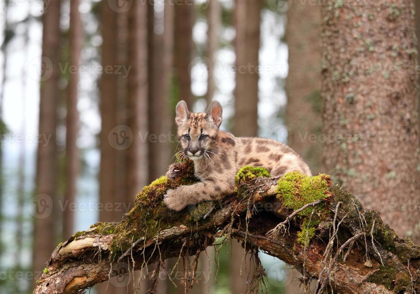 Puma cub photo