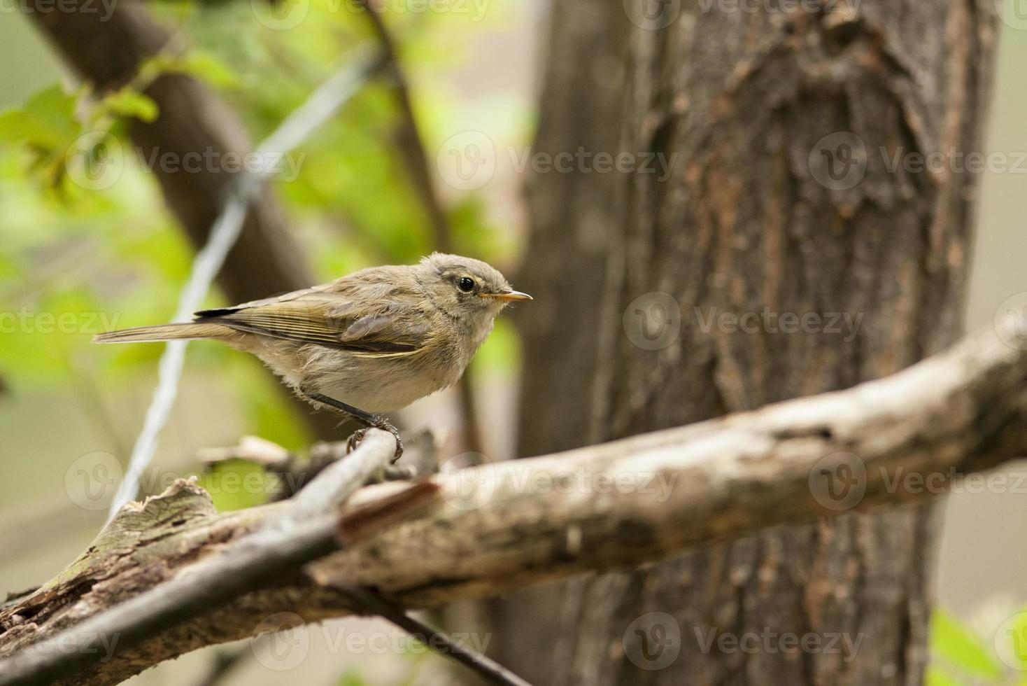 Young Common Chiffchaff (Phylloscopus collybita) photo