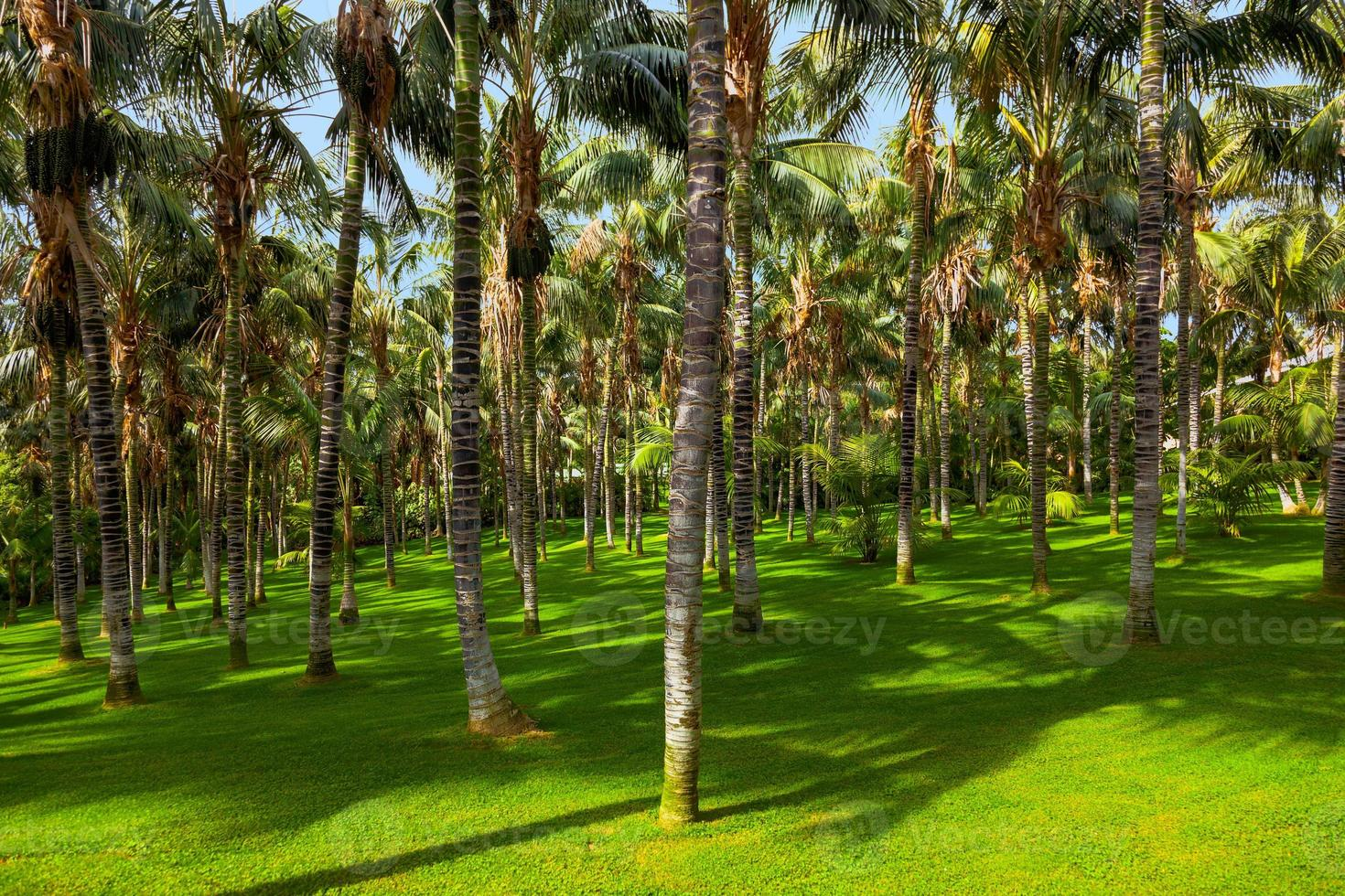 Palms at Tenerife - Canary islands photo