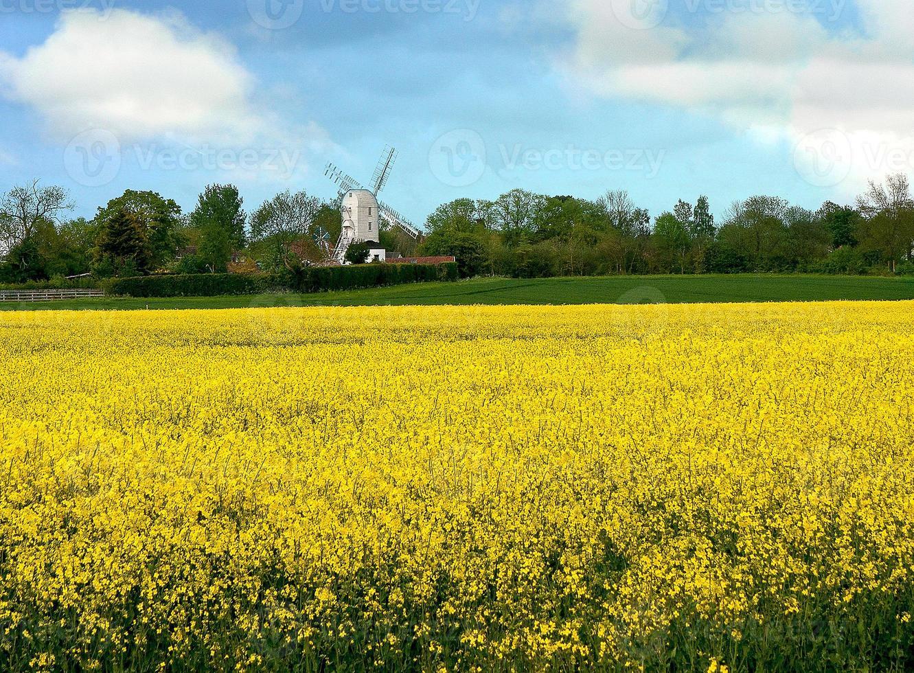 Rape seed and windmill photo