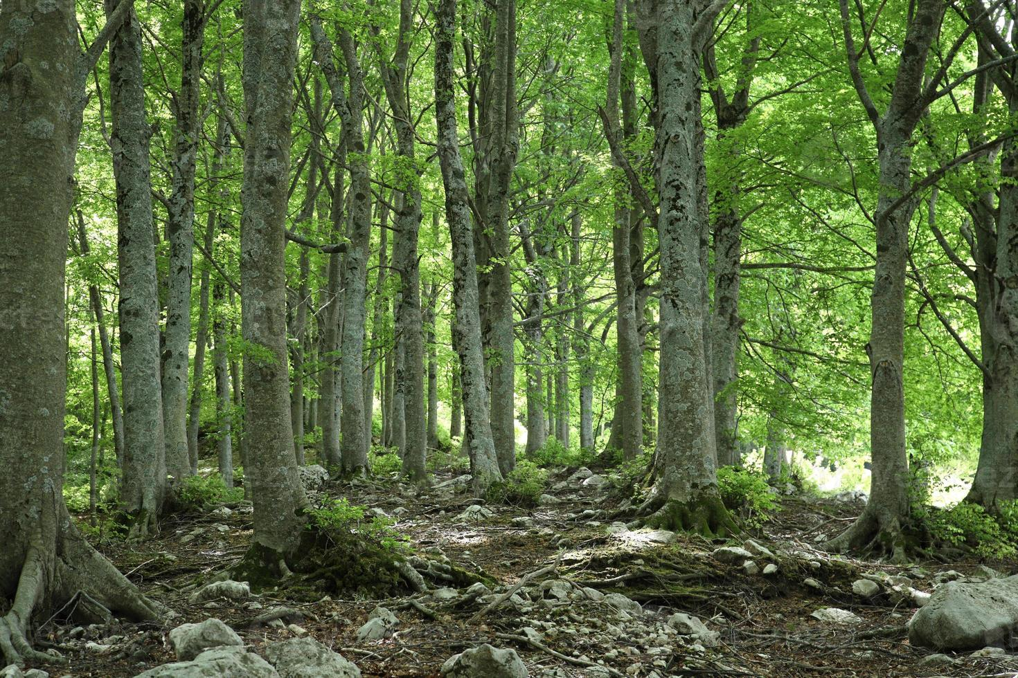 Spring view of beech wood photo