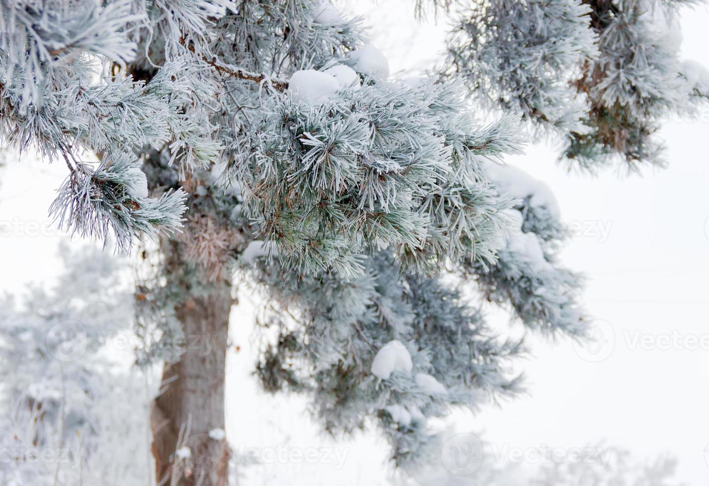 Pine branch covered with hoarfrost closeup photo