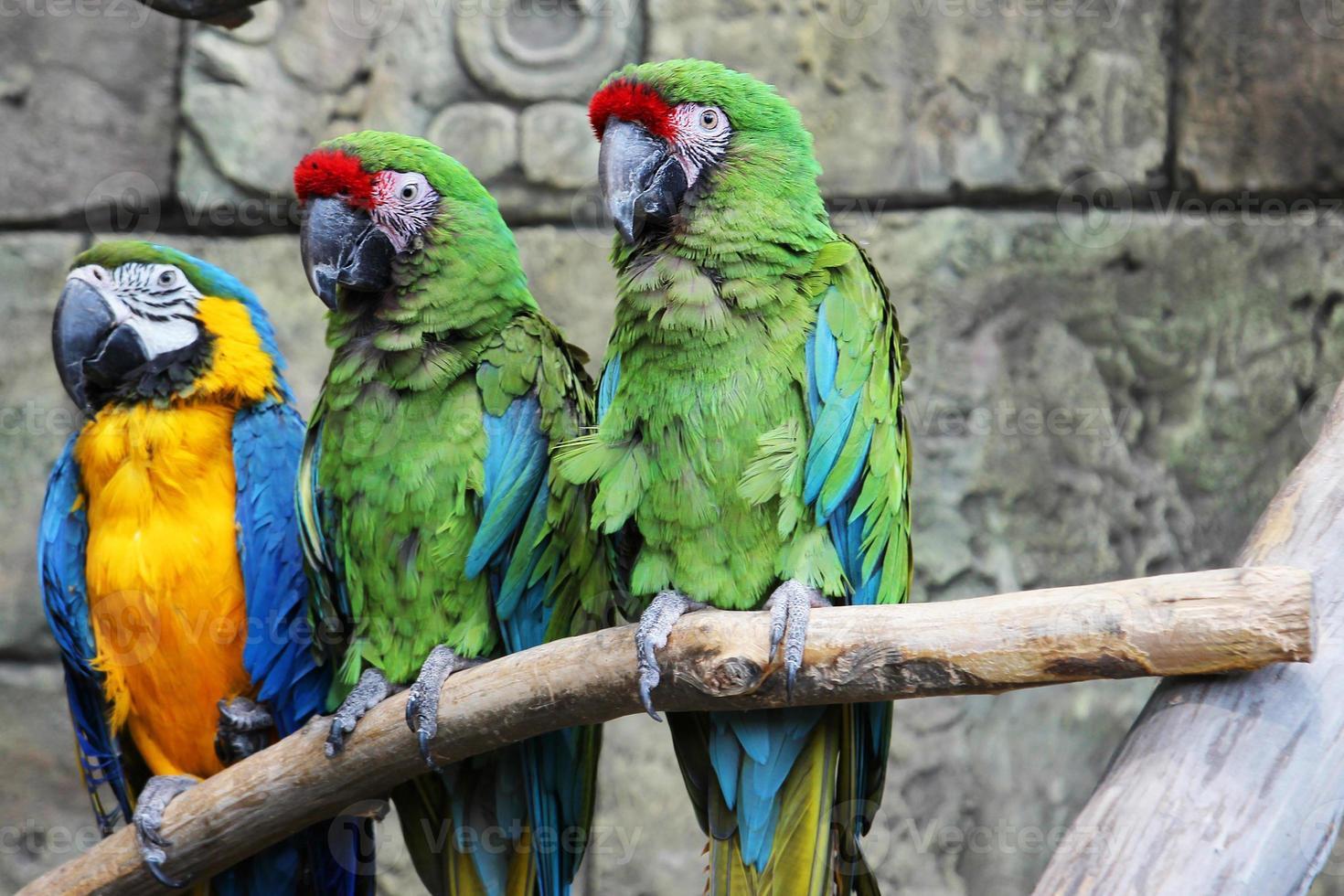 loros ara guacamayos en la selva foto