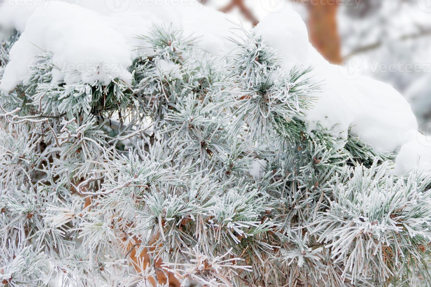 Rama de pino cubierto de escarcha closeup foto
