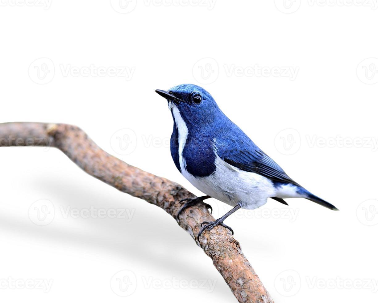 Beautiful Blue Bird, Ultramarine Flycatcher, perching on branch photo