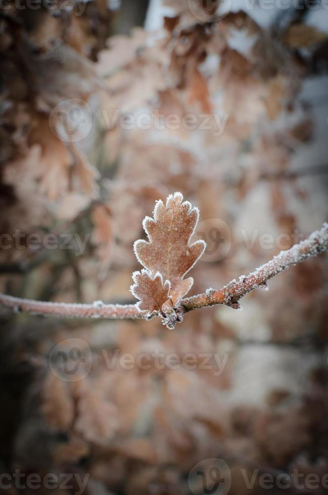 oak leaves covered with hoarfrost photo