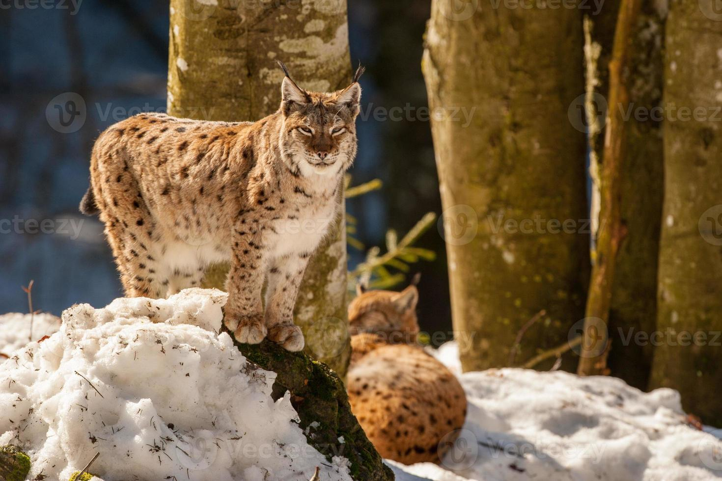 Lynx portrait on the snow background photo