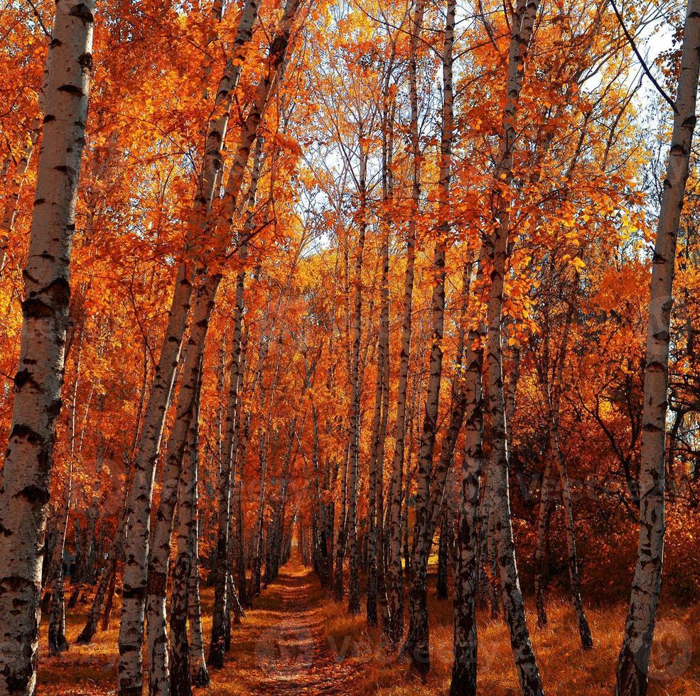 Autumn birch grove photo