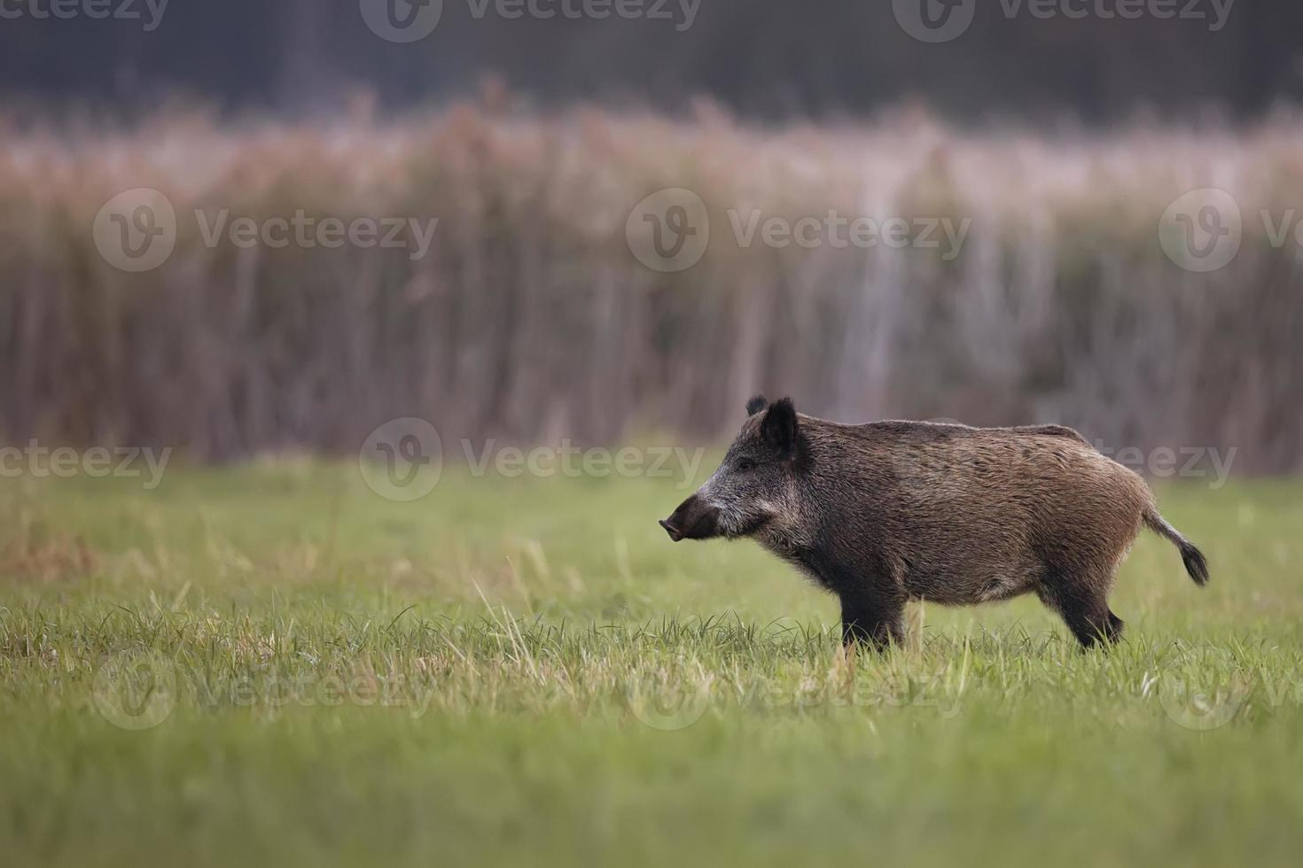 Wild boar in a clearing photo