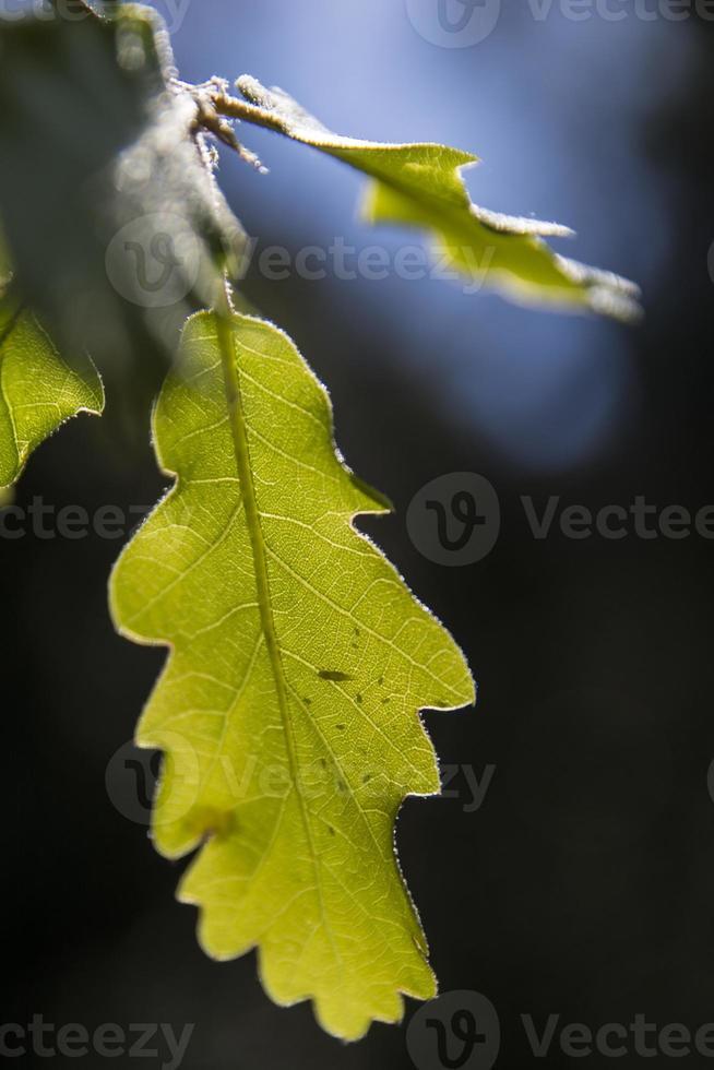 folha de carvalho (quercus), vista inferior retroiluminada foto