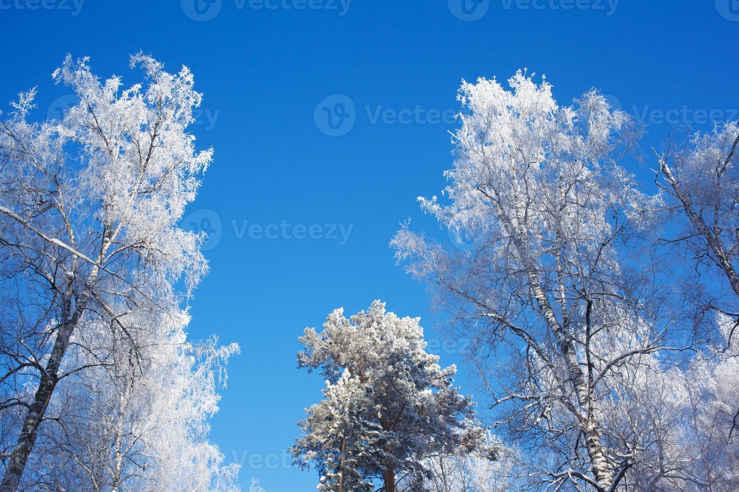 Copas de los árboles helados sobre fondo de cielo foto