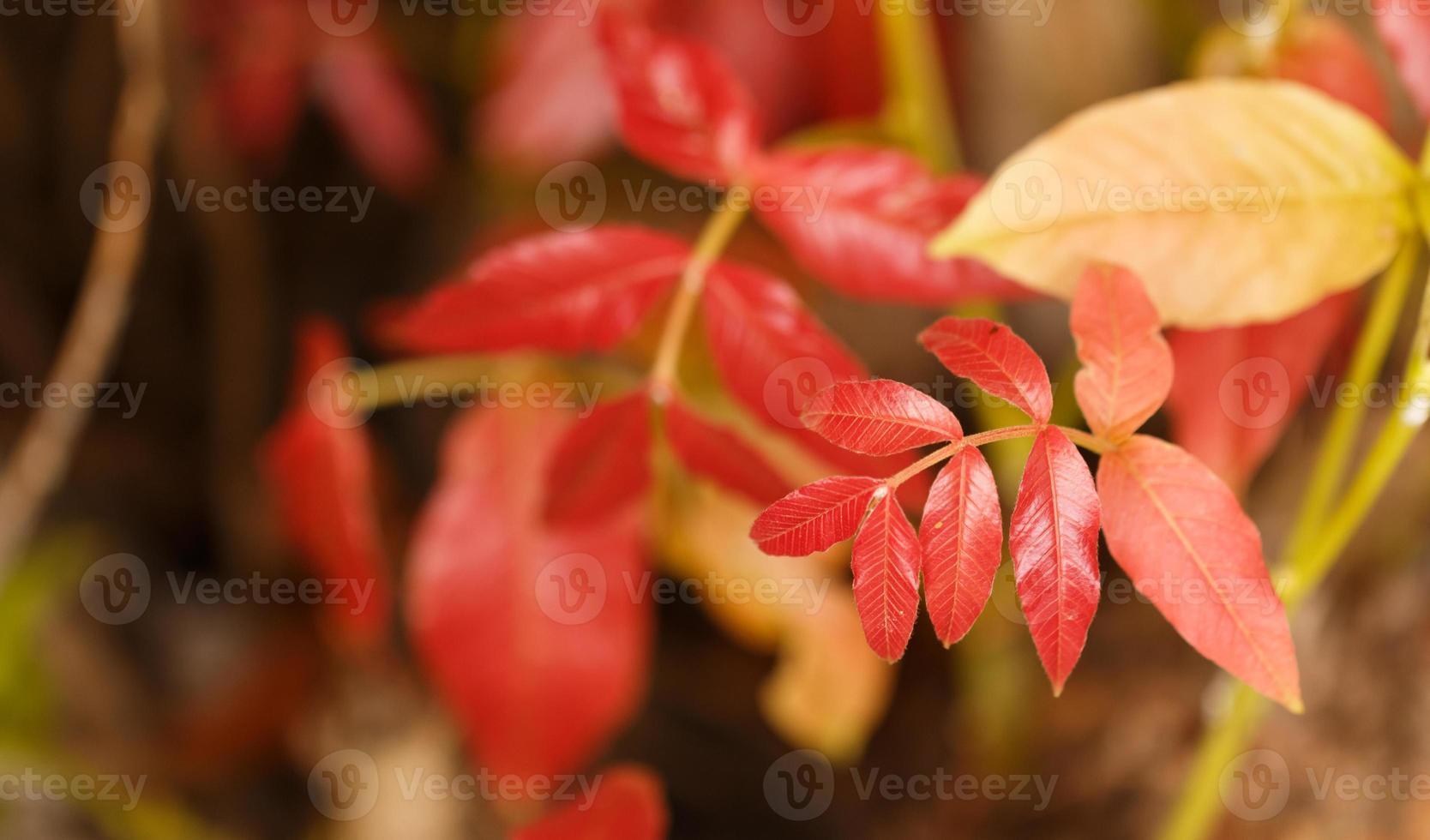 chiudere le foglie rosse foto