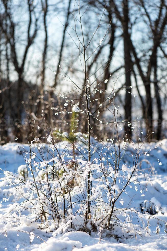 árboles de invierno cubiertos de nieve en frío foto