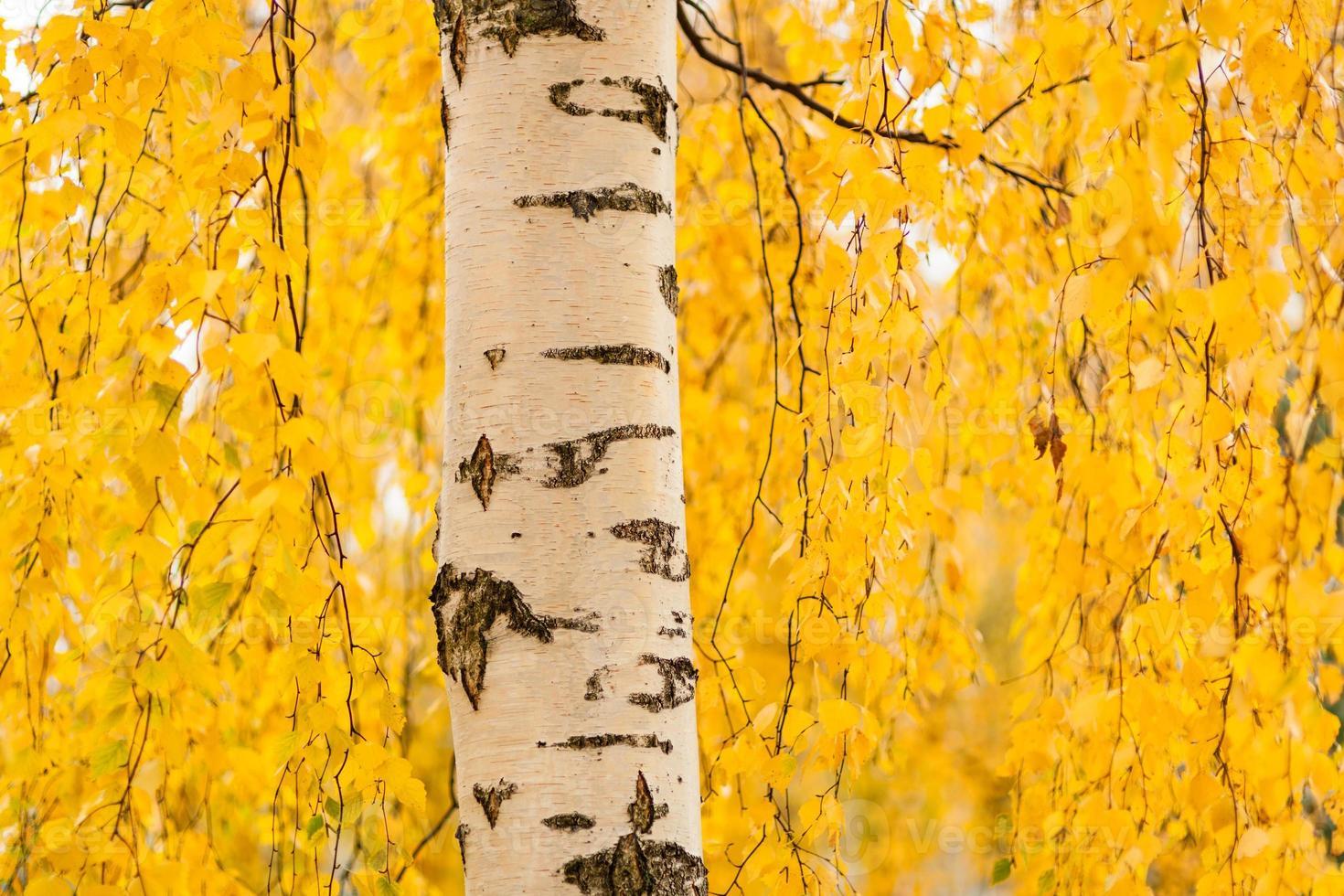 berkenstam en levendig geel blad foto