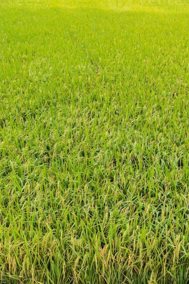 risaie verdi in thailandia. foto