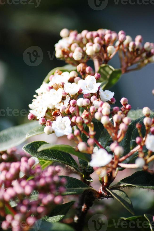 viburnum tinus eine immergrüne Schneeballpflanze oder ein mediterraner Schneeball foto