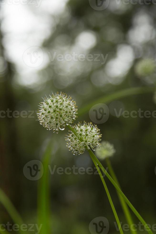 flores y gotas de rocío. foto