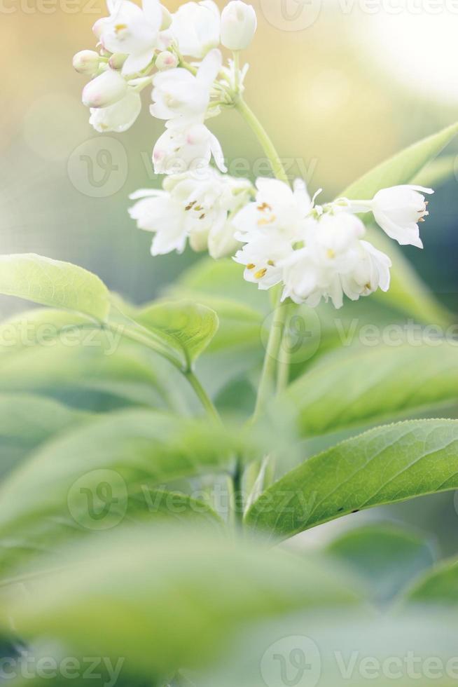 arbusti ornamentali a fiore bianco foto