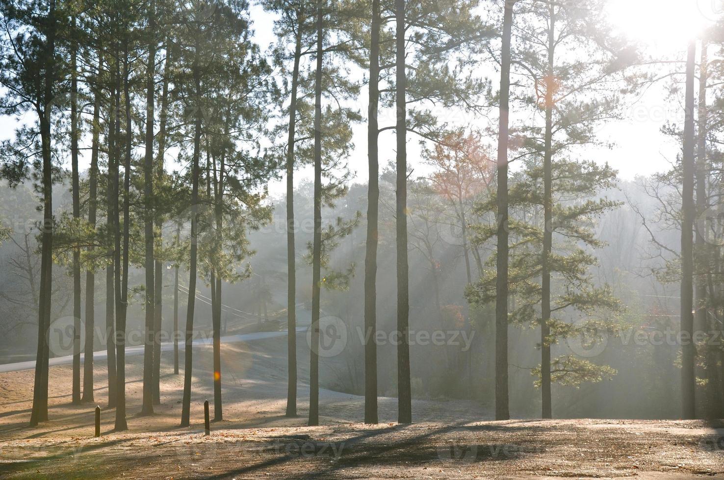 la lumière du soleil qui traverse les pins photo
