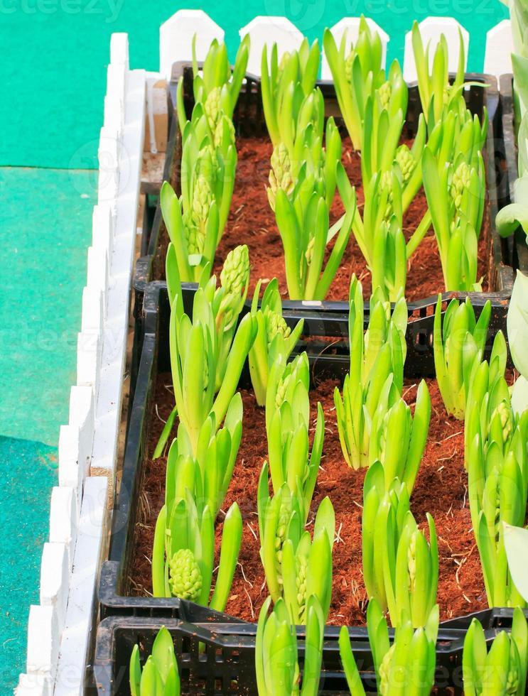 pousse de tulipes photo
