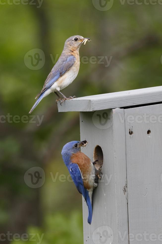 Par de pájaros azules orientales en nestbox foto