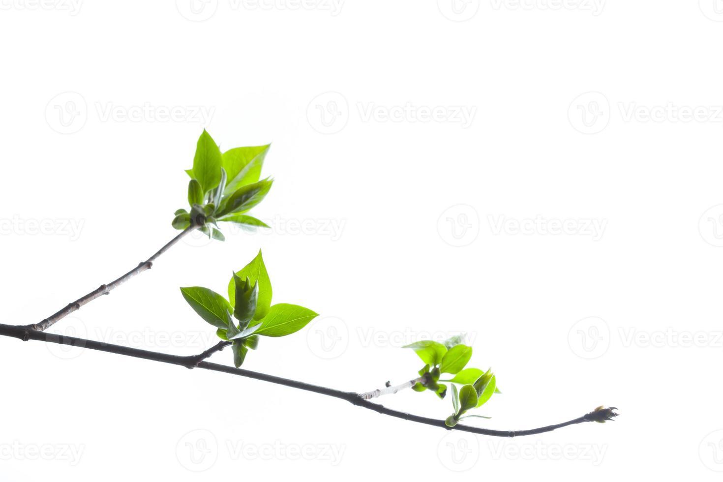ramo verde foto