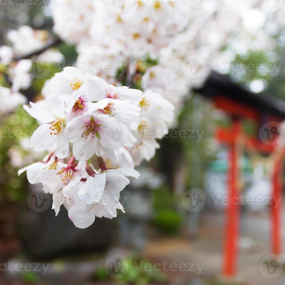 magnifiquement fleur de cerisier et bois photo