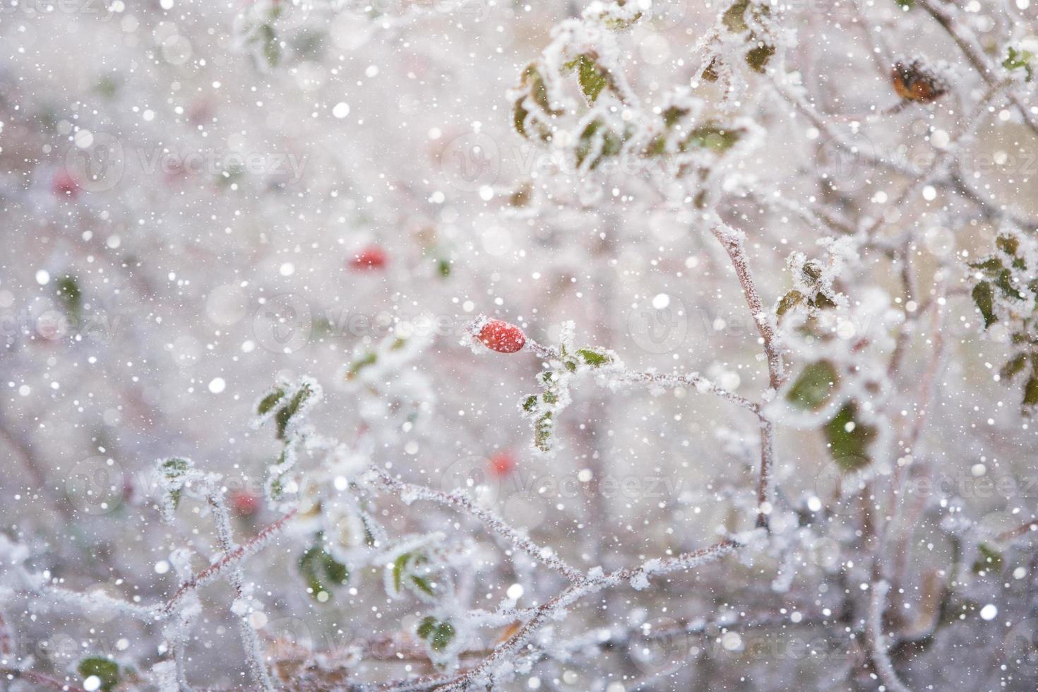 bayas en la nieve foto