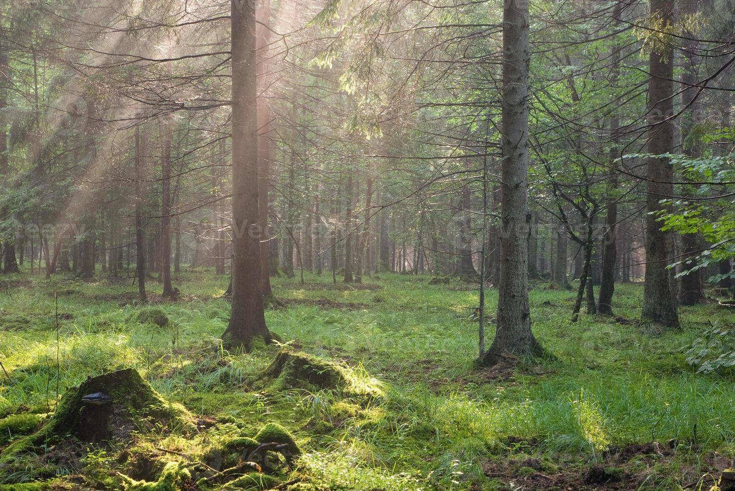 Sunlight shinning across spruce branches photo