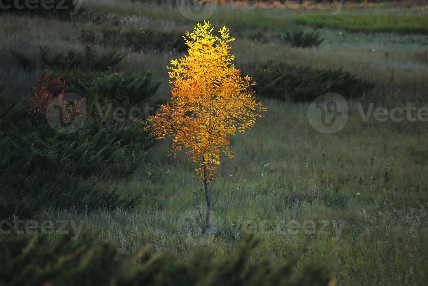 lone elm tree, sunlit photo