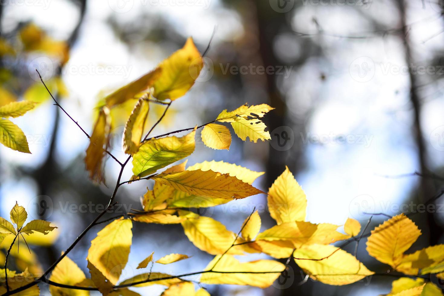 detalles de hojas de otoño amarillas, luz bokeh foto