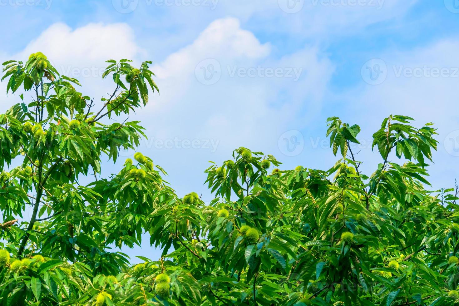 Chestnut tree and green chestnuts photo