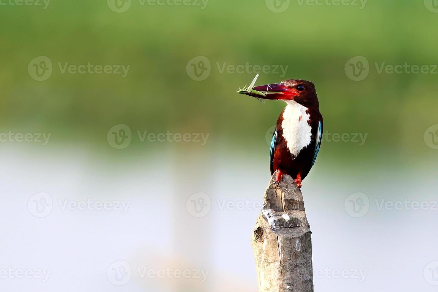 witkeelijsvogel foto