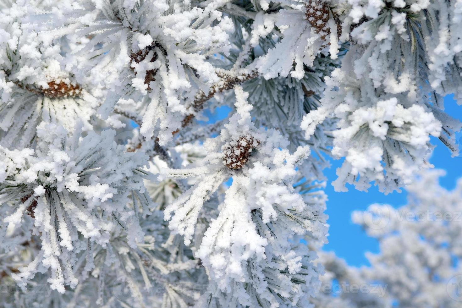 ramitas de pino cubiertas de nieve foto