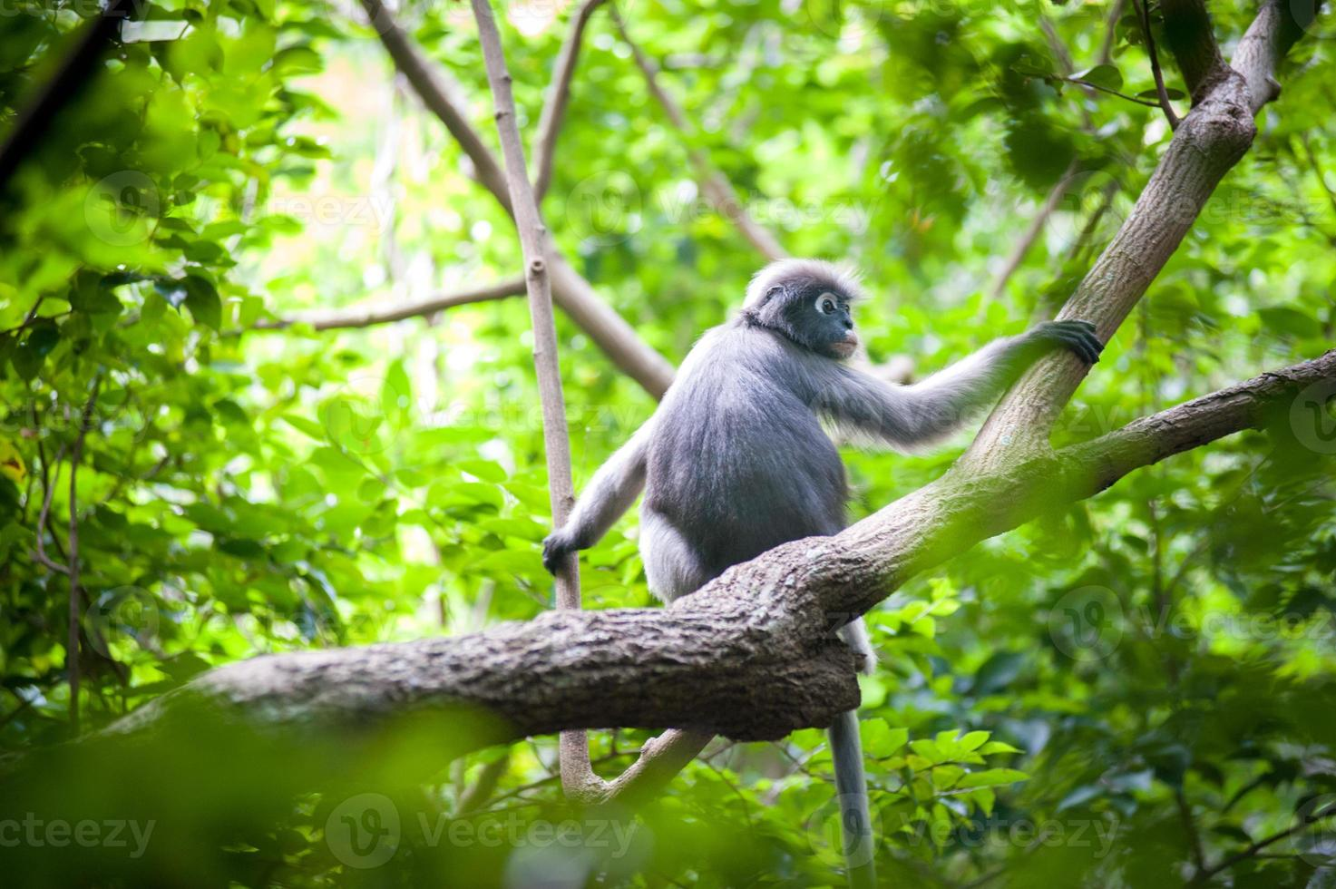 Mono de hoja oscura en el árbol foto