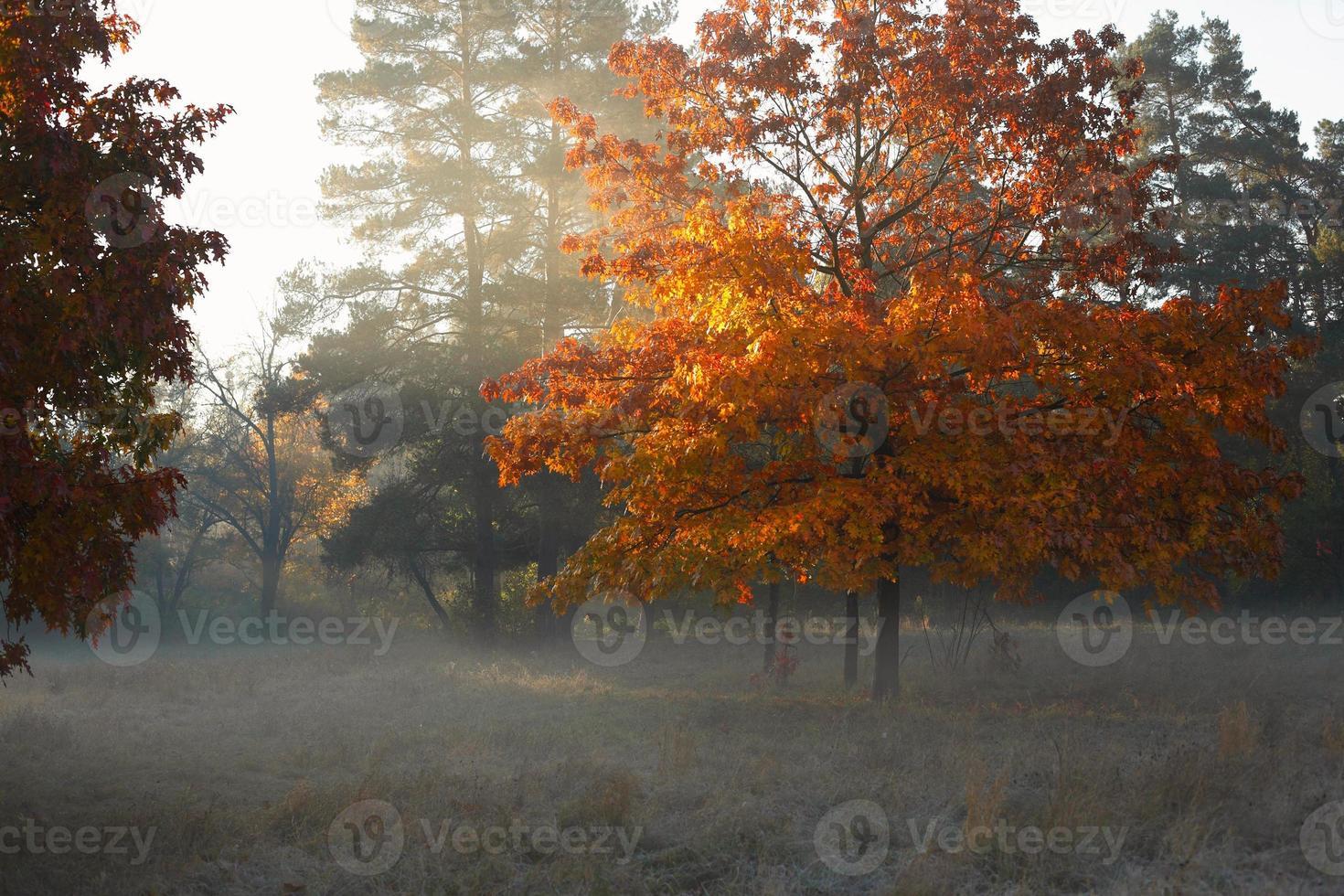 Autumn oak tree at twilight photo