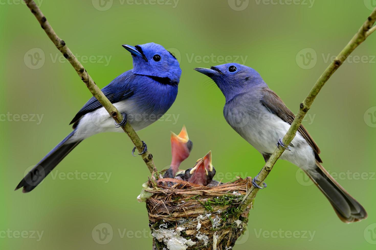 Family of Black-naped Monarch (Blue flycatcher), the beautiful b photo