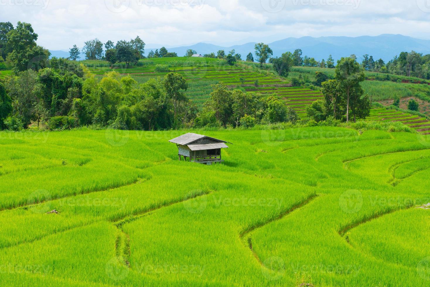 Rice field with cottage in Thailand photo
