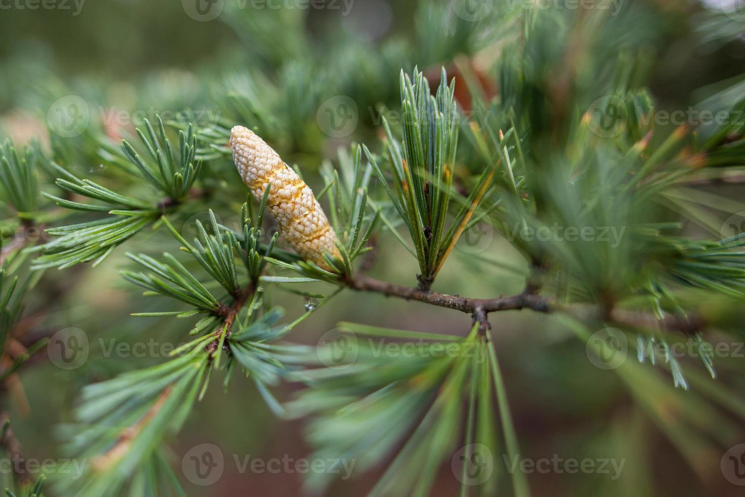 Primer plano de brote de pino conífera joven foto