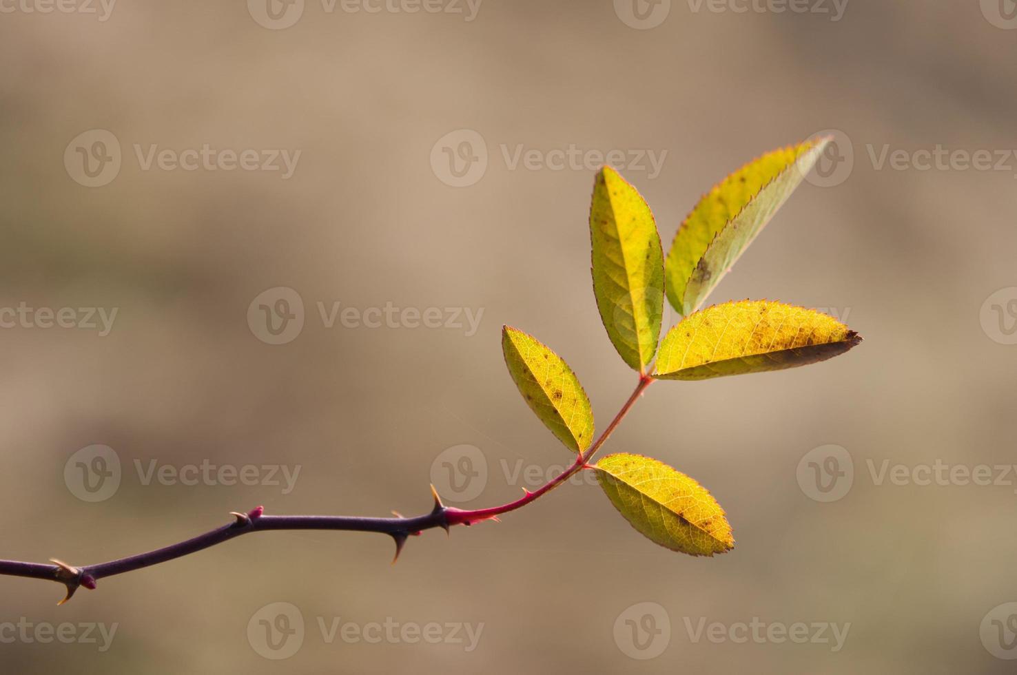 hojas de brezo foto