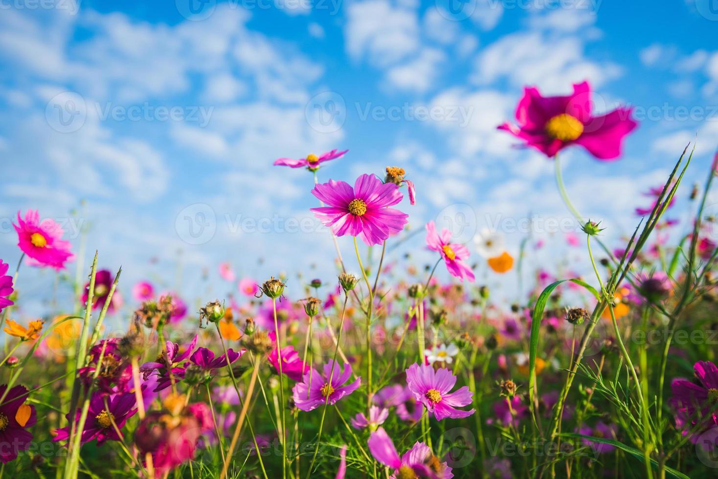 The Cosmos Flower of grassland photo