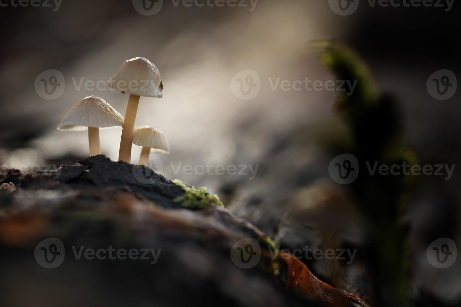 pequeños hongos venenosos foto