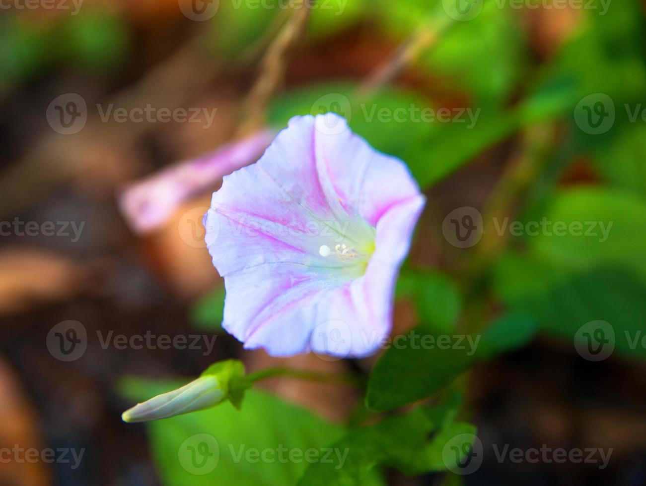 Purple blooming morning glory flower photo