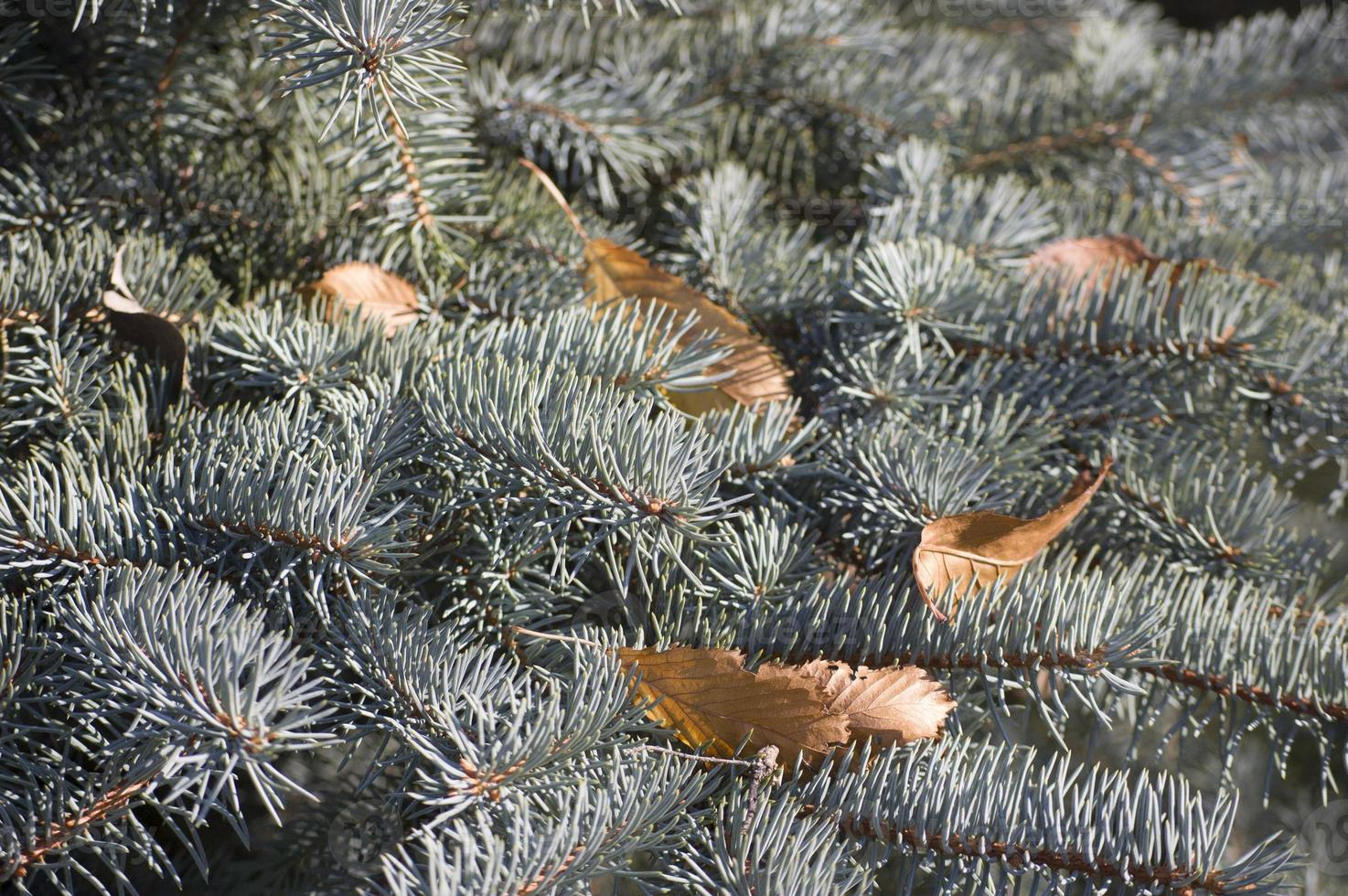 Blue spruce  branches on a green background. photo