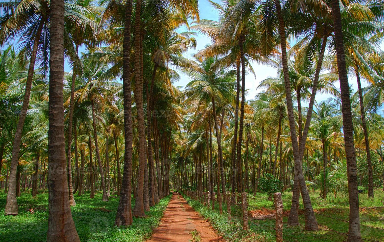planta de coqueiro foto