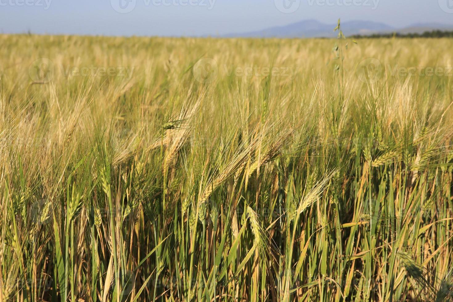 hermoso campo de trigo de verano foto