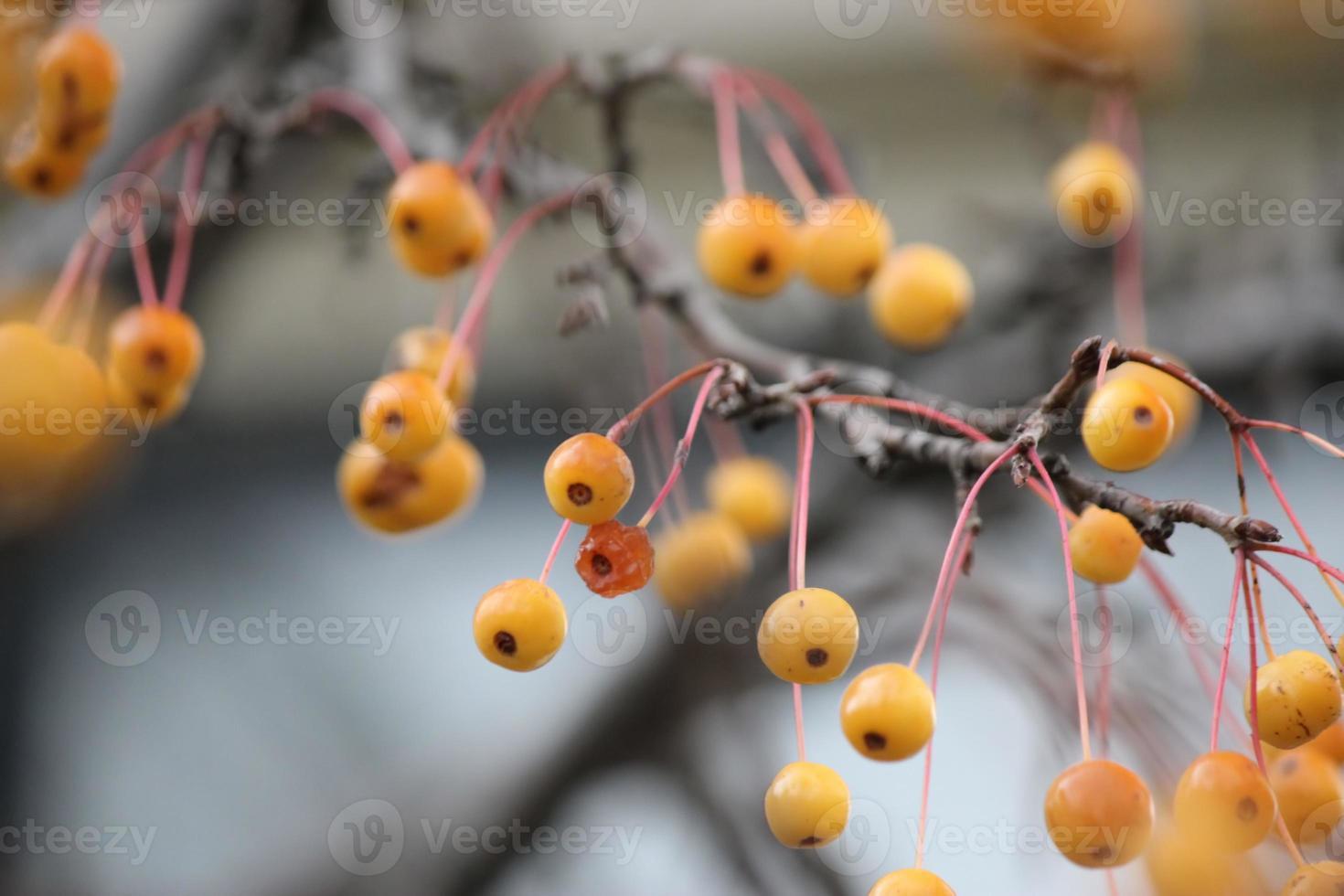 Autumn crab apples photo