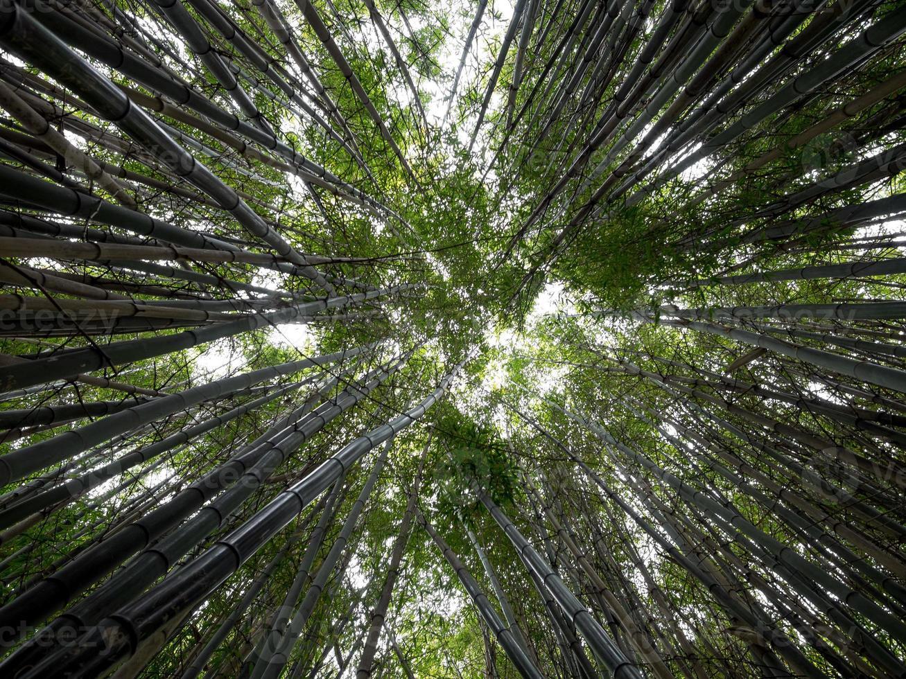 Bamboo Shoots photo