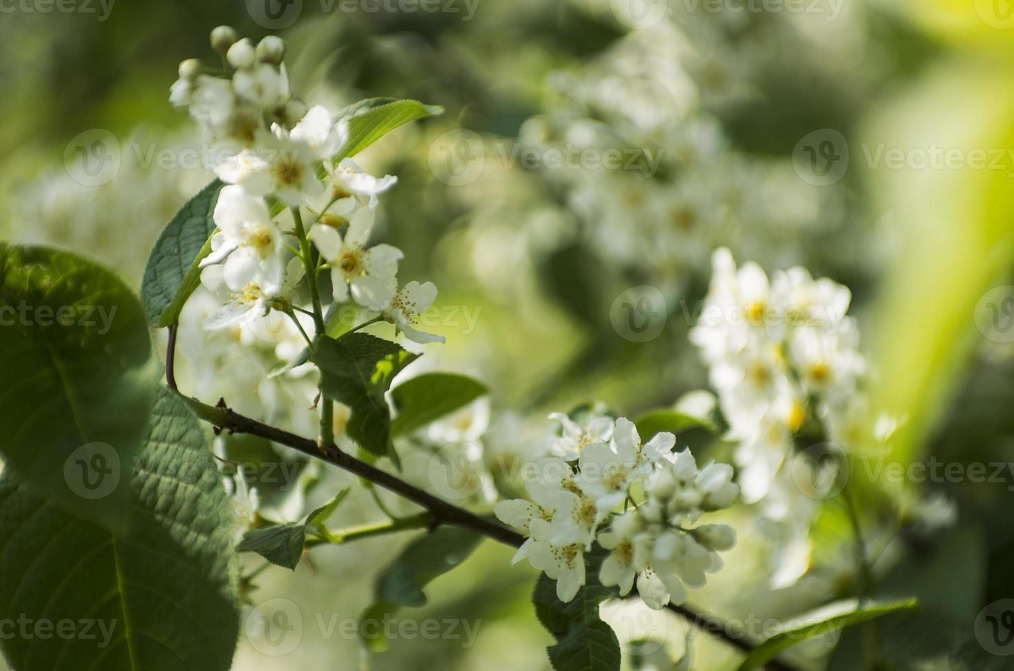 Bird-cherry tree with white flowers in daylight photo