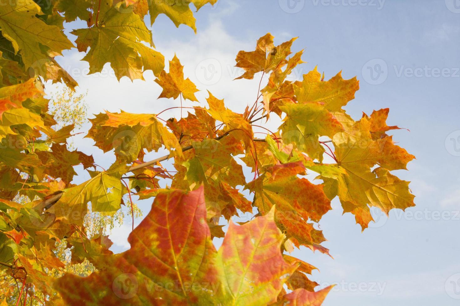Orange autumn leaves on blue sky background photo